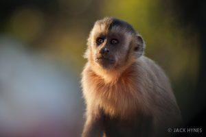Bearded capuchin (Cebus libidinosus)