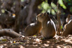 Baby capybara (Hydrochoerus hydrochaeris)