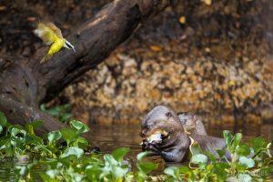 Giant otter eating (Pteronura brasiliensis) with lesser kiskadee (Pitangus lictor)