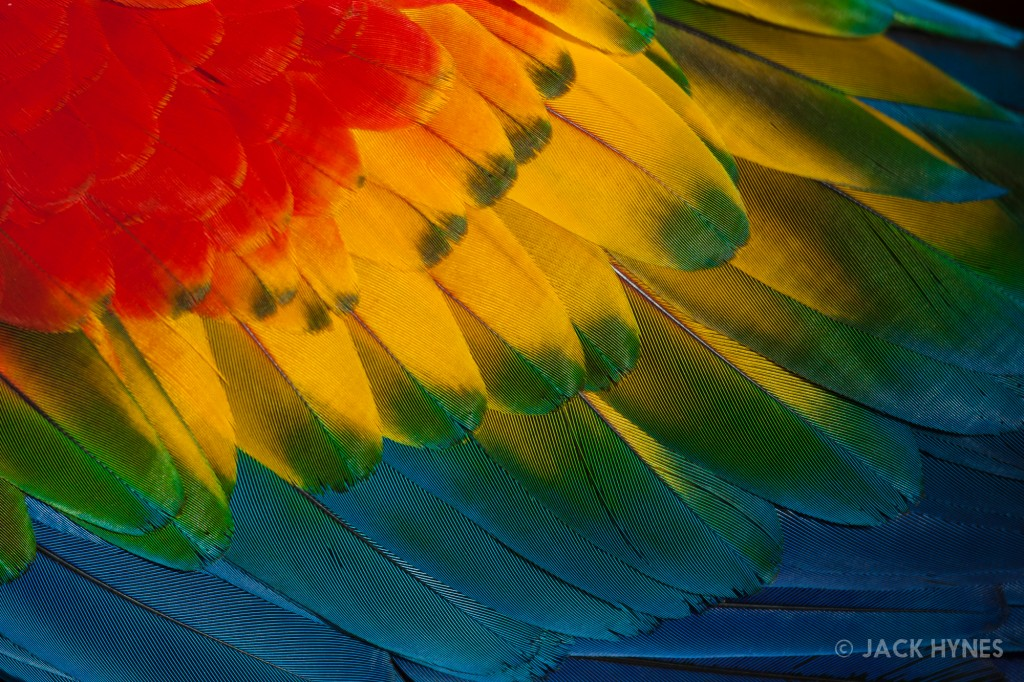 Scarlet macaw feathers (Ara macao)