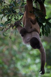 Mother and baby brown woolly monkey (Lagothrix lagotricha)