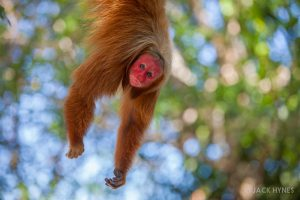 Bald uakari or red uakari (Cacajao calvus)