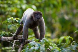 Brown woolly monkey (Lagothrix lagotricha)