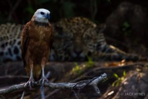 Black-collared hawk (Busarellus nigricollis) and jaguar (Panthera onca)