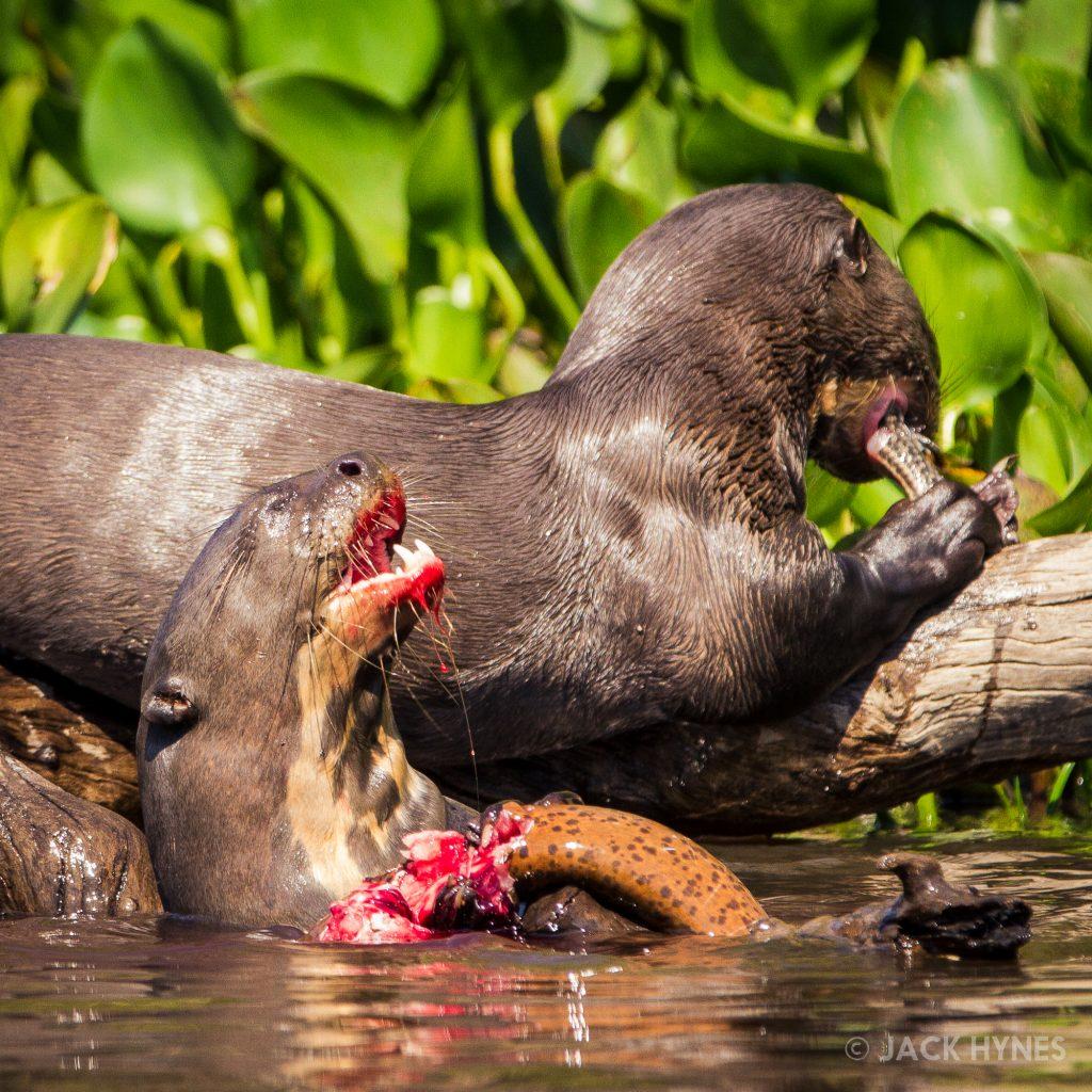 Giant otters eating (Pteronura brasiliensis)